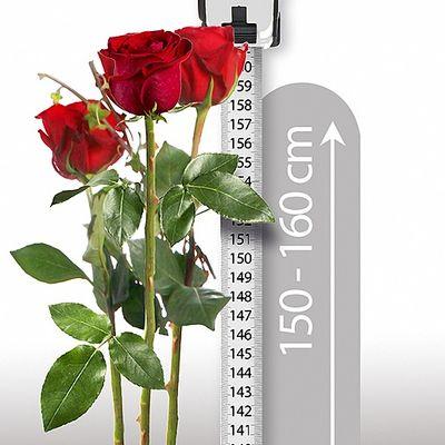 blumenstrau 3 echte riesen rosen von valentins auf. Black Bedroom Furniture Sets. Home Design Ideas