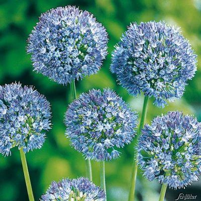 Allium (Blaulauch) - 15 Stück von Garten Schlüter auf Blumen.de kaufen