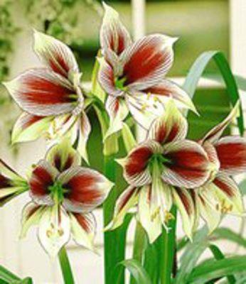 amaryllis papilio butterfly von baldur garten auf blumen. Black Bedroom Furniture Sets. Home Design Ideas