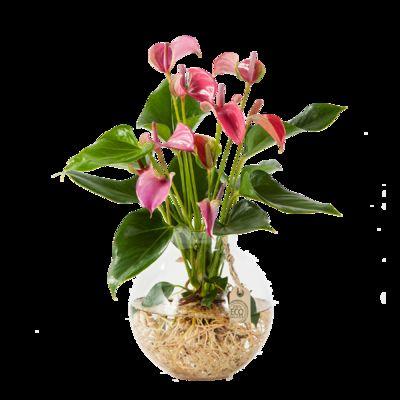 Atemberaubend Anthurie Water Plant von Blume2000.de auf Blumen.de kaufen &NG_82