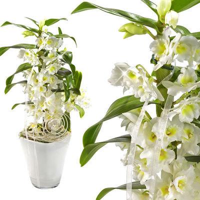 Asiatische trauben orchidee von floraprima auf kaufen - Asiatische zimmerpflanzen ...