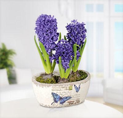 blumenstrau blaue hyazinthe im topf von auf. Black Bedroom Furniture Sets. Home Design Ideas
