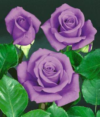 blaue rose blue saphir von baldur garten auf kaufen. Black Bedroom Furniture Sets. Home Design Ideas