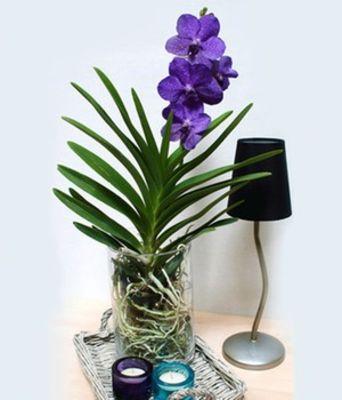 blaue zimmer orchidee von baldur garten auf kaufen. Black Bedroom Furniture Sets. Home Design Ideas