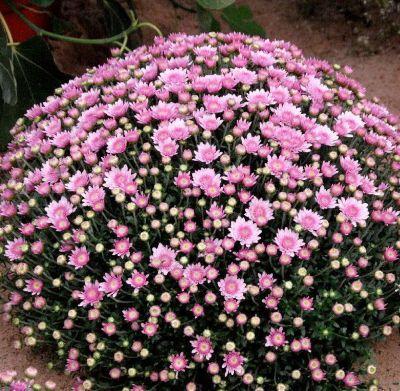 chrysantheme rosa busch von gartenxxl auf kaufen. Black Bedroom Furniture Sets. Home Design Ideas