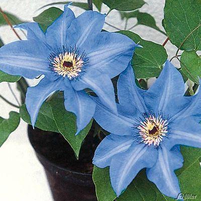 Clematis ´Königskind®´ von Garten Schlüter auf Blumen.de kaufen