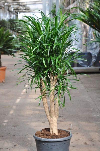 drachenbaum dracaena anita von der palmenmann auf blumen. Black Bedroom Furniture Sets. Home Design Ideas