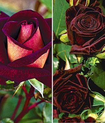 Duftende Edelrosen-Kollektion von BALDUR-Garten auf Blumen.de kaufen