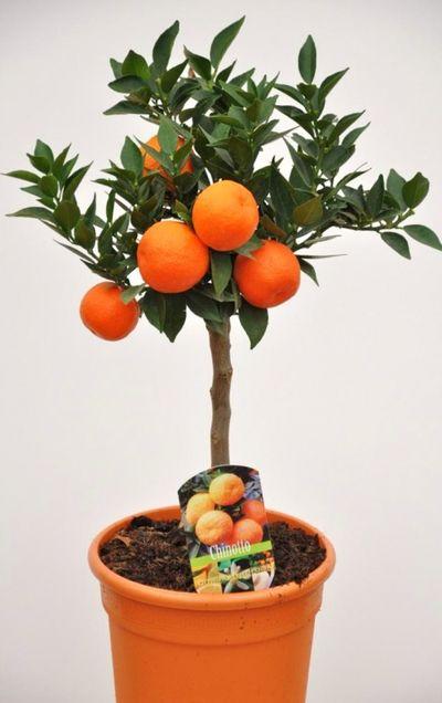 Duftorange citrus myrtifolia chinotto von der palmenmann for Citrus myrtifolia
