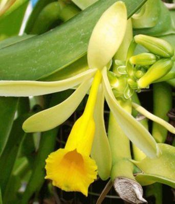 Orchidee echte vanille von baldur garten auf kaufen for Baldur garten katalog anfordern