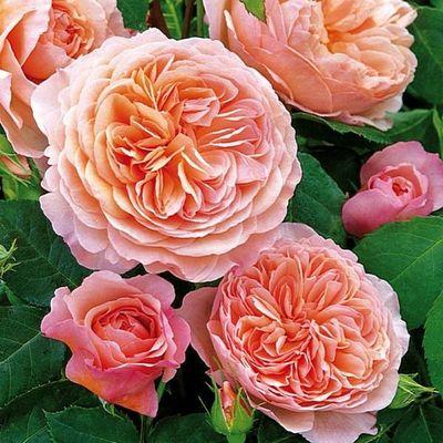 englische rosen william morris von tom garten auf kaufen. Black Bedroom Furniture Sets. Home Design Ideas