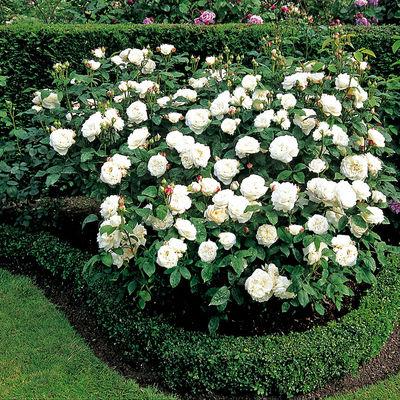 englische rosen winchester cathedral von tom garten auf kaufen. Black Bedroom Furniture Sets. Home Design Ideas