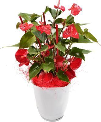 Beliebt Bevorzugt Flamingo-Blume, Anthurie im Deko-Topf von GartenXXL auf Blumen.de #PY_27