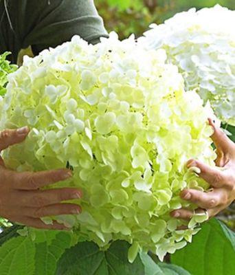Zwerg Rispenhortensie Bobo Von Garten Schluter Auf Blumen De Kaufen