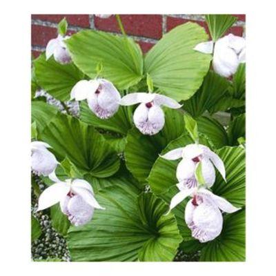 Freiland-Orchideen \