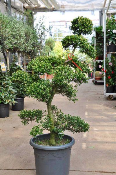 garten bonsai von der palmenmann auf kaufen. Black Bedroom Furniture Sets. Home Design Ideas