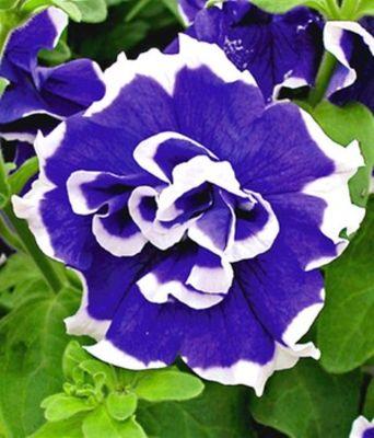 h nge petunie bavaria bell 3 pflanzen von baldur garten auf kaufen. Black Bedroom Furniture Sets. Home Design Ideas