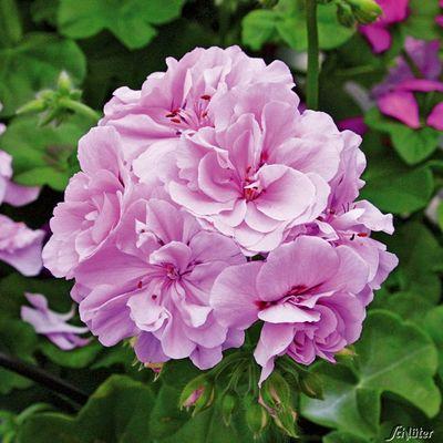 H ngende geranien grandeur ivy light lavender von for Geranien pflanzen