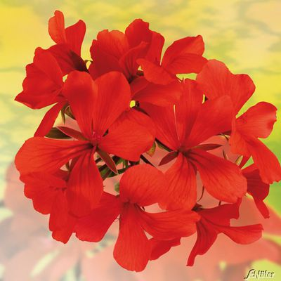 h ngende gletscher geranien grandeur butterfly red von garten schl ter auf kaufen. Black Bedroom Furniture Sets. Home Design Ideas