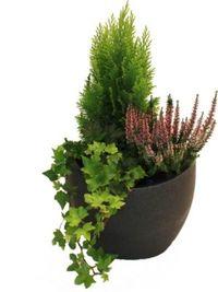 muschelzypresse nana gracilis von garten schl ter auf. Black Bedroom Furniture Sets. Home Design Ideas