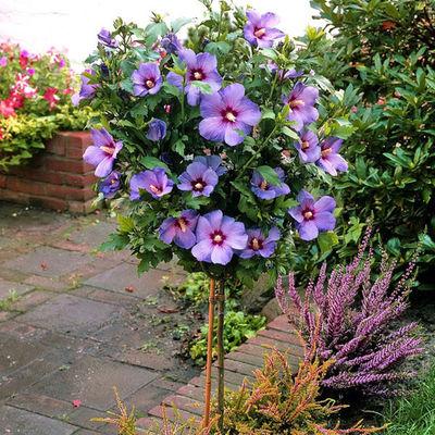 hibiskus auf stamm blau von floraprima auf kaufen. Black Bedroom Furniture Sets. Home Design Ideas