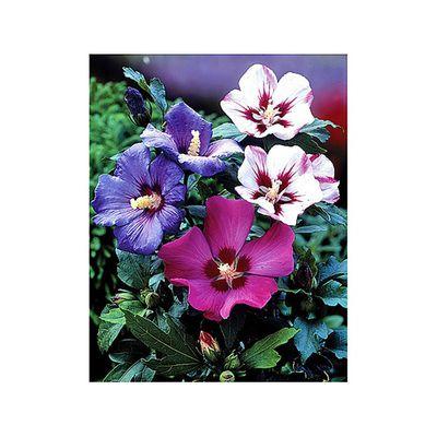 Großartig Hibiskus (Roseneibisch) von OBI auf Blumen.de kaufen UC51