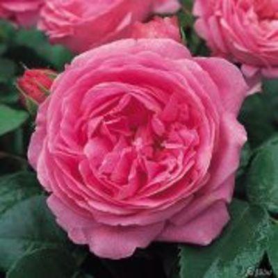 historische rose louise odier von garten schl ter auf kaufen. Black Bedroom Furniture Sets. Home Design Ideas