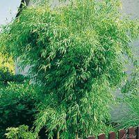roter bambus asian wonder von baldur garten auf blumen. Black Bedroom Furniture Sets. Home Design Ideas