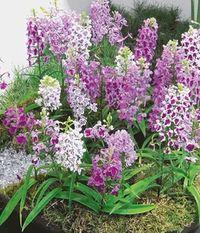 freiland orchidee formosana von baldur garten auf blumen. Black Bedroom Furniture Sets. Home Design Ideas
