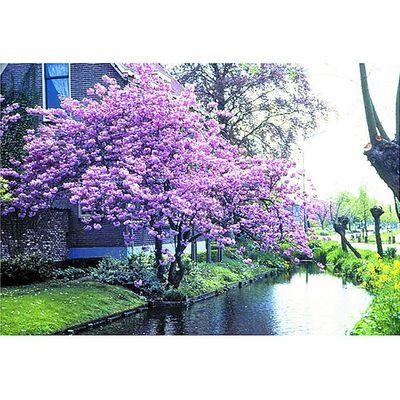 japanische bl tenkirsche rosa von obi auf kaufen. Black Bedroom Furniture Sets. Home Design Ideas