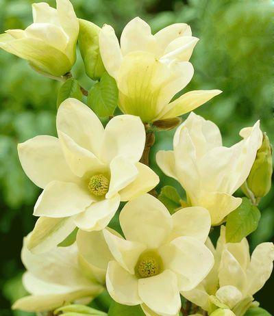 magnolie elizabeth von baldur garten auf kaufen. Black Bedroom Furniture Sets. Home Design Ideas