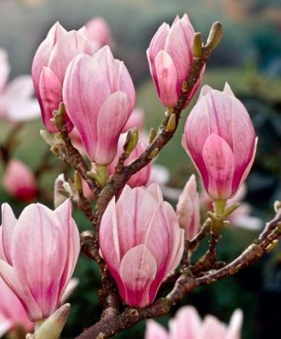 magnolie magnolia x soulangeana von bakker auf. Black Bedroom Furniture Sets. Home Design Ideas