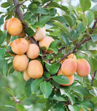 obstbaum mirabellen aprikose miracose von gartenhelden. Black Bedroom Furniture Sets. Home Design Ideas