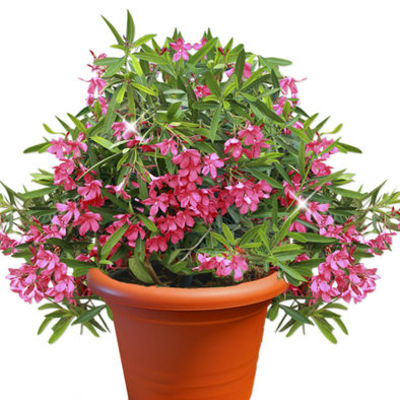 oleander im topf von floraprima auf kaufen. Black Bedroom Furniture Sets. Home Design Ideas