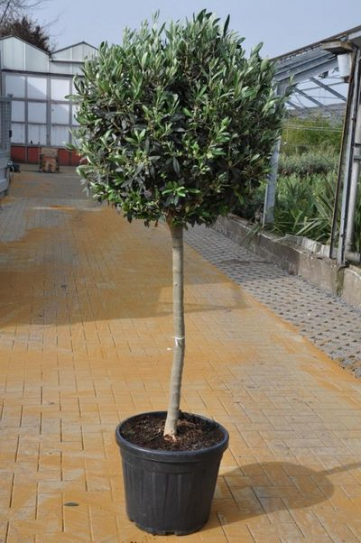 olivenbaum olea europea hochstamm von der palmenmann auf kaufen. Black Bedroom Furniture Sets. Home Design Ideas
