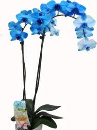 orchidee im topf mit blauen bl ten von floraprima auf kaufen. Black Bedroom Furniture Sets. Home Design Ideas