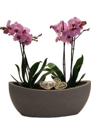 Orchideen arrangement mit phalenopsis von gartenxxl auf kaufen - Orchideen arrangement ...
