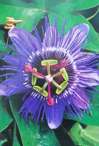 passionsblume passiflora purple haze von der palmenmann auf kaufen. Black Bedroom Furniture Sets. Home Design Ideas