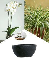 veilchenorchidee von bakker auf kaufen. Black Bedroom Furniture Sets. Home Design Ideas