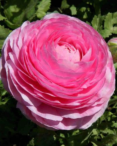 Wo Kann Ich Blumen Kaufen ranunkeln günstig kaufen und verschicken auf blumen de