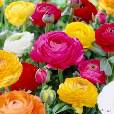 Image result for ranunkeln blumen