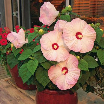 Riesen-Hibiskus Luna Blush F1 von Gärtner Pötschke auf Blumen.de kaufen