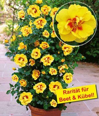 Rosen-Rarität ´Eyeconic®,´ von BALDUR-Garten auf Blumen.de kaufen