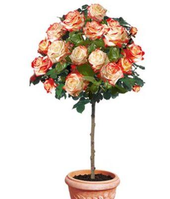 Rosen-Stamm ´Impératrice Farah®,´ von BALDUR-Garten auf Blumen.de kaufen