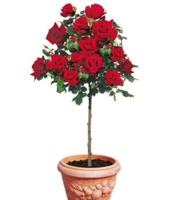 Rosen-Stamm ´Le Rouge Et Le Noir®,´ Von Baldur-Garten Auf Blumen