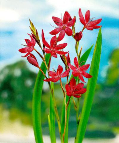 rote sumpfgladiole schizostylis coccinea von bakker auf kaufen. Black Bedroom Furniture Sets. Home Design Ideas