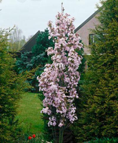 s ulenf rmige japanische zierkirsche prunus serrulata 39 amanogawa 39 von bakker auf kaufen. Black Bedroom Furniture Sets. Home Design Ideas