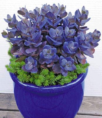 sedum blue pearl 2 pflanzen fetthenne von gartenxxl auf kaufen. Black Bedroom Furniture Sets. Home Design Ideas