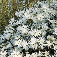 tulpen magnolie alba superba von garten schl ter auf. Black Bedroom Furniture Sets. Home Design Ideas
