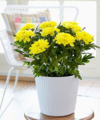 topf chrysantheme chrysanne 39 zembla yellow 39 von bakker auf kaufen. Black Bedroom Furniture Sets. Home Design Ideas